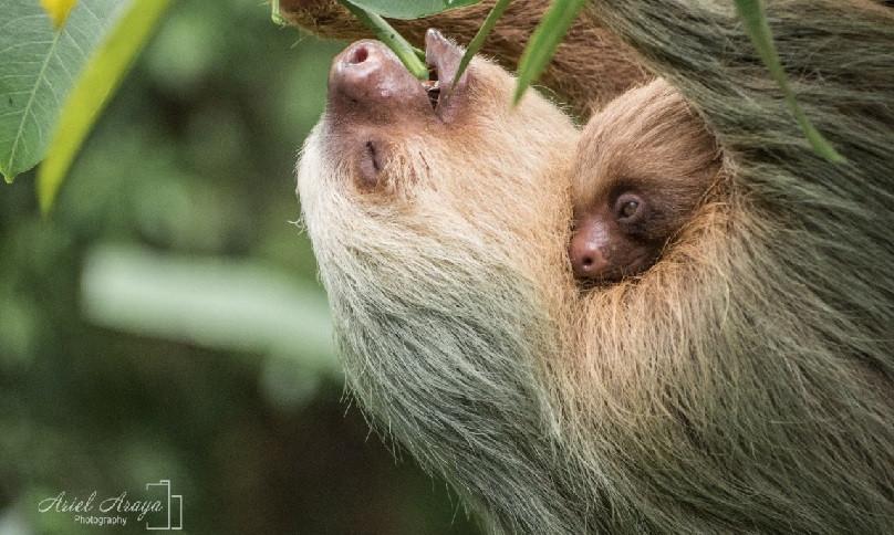 Arenal Sloth Tour La Fortuna Costa Rica