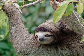 Sloth Watching and Campesino Farmer Tour